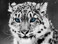 Download Snow Leopard / Digital Animals