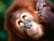 High quality Apes  / Animals