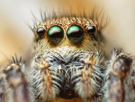 Download macro four-eyed spider / Arachnids