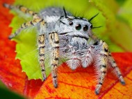 Download hairy spider on the leaves / Arachnids