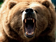High quality Bears  / Animals