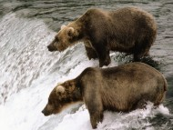 Bears / Animals