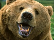 Download Bears / Animals