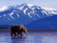 Bears / Animals