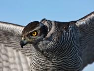 Download Hunt / Birds of Prey