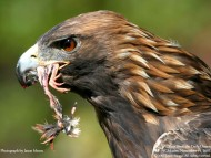 With prey in its beak / Birds of Prey