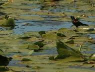 Carouge À Épaulette Sur Nénuphars / Birds