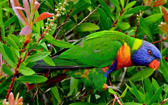 Free Send to Mobile Phone parrot, bird Birds wallpaper num.415