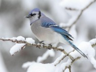 Blue Jays In Snow / Birds
