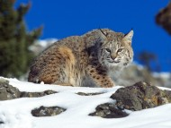 Lynxes / Animals