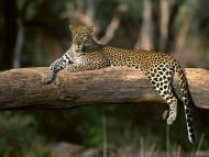 Leopards and Cheetahs / High quality Animals