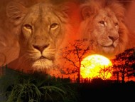 Download Lions / Animals