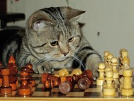 Play chess / Cats