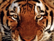 Download Tigers / Animals