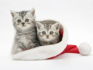 two kitten santa hat / Cats