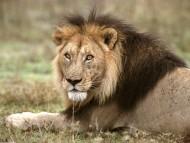 Lions / Animals