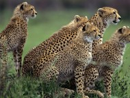 Cheetahs in Africa / Leopards and Cheetahs