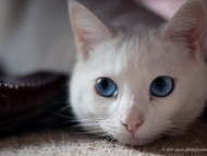 cat, white cat, blue eyed cat, blue eyes / Cats