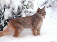 Lynxes / Animals