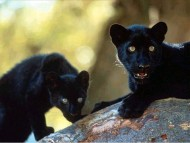 Panthers / Animals