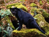 Panthers / HQ Animals