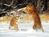 Tigers / Animals