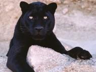 Panthers / Animals