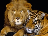 lion and tiger / Lions