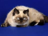 Siamese / Cats