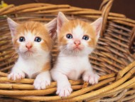 two kittens in basket / Cats