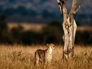 Leopards and Cheetahs / HQ Animals