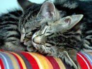 two kittens sleep / Cats