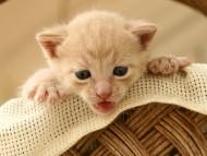 kitten in basket / Cats