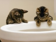 toilet sink, bowl / Cats