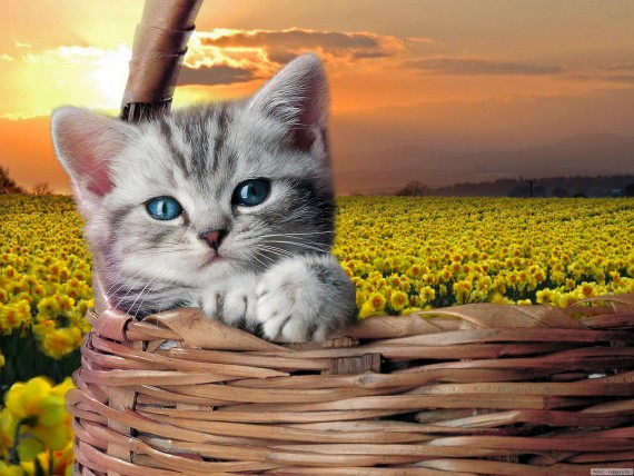 Free Send to Mobile Phone kitten basket Cats wallpaper num.428