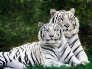 couple white tigers / Tigers