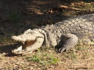 Crocodiles / Animals