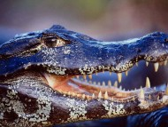 dangerous teeth / Crocodiles