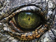 eye / Crocodiles