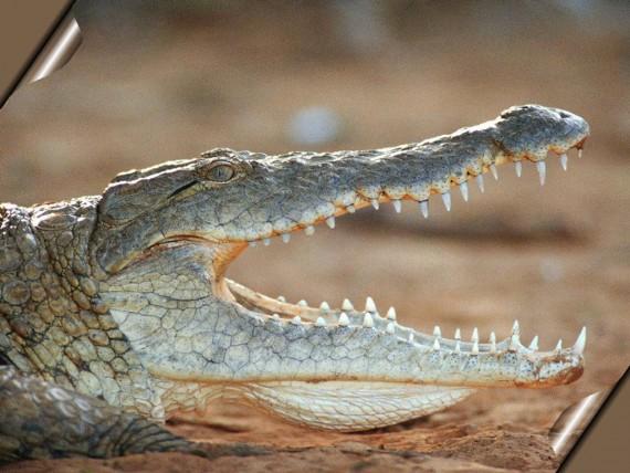 Free Send to Mobile Phone predatory reptile Crocodiles wallpaper num.4
