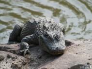 climbs on the beach / Crocodiles