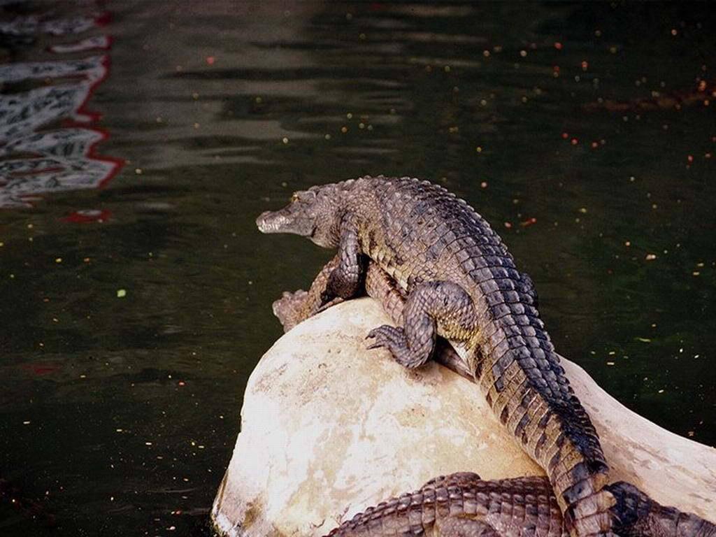 Download pond Crocodiles wallpaper / 1024x768