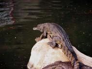 pond / Crocodiles