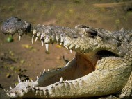 open mouth / Crocodiles