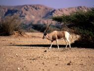 Download Deers / Animals