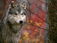 Wolfs / Animals