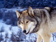 Wolfs / Animals