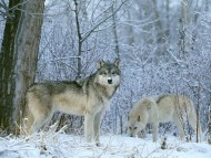 Wolfs / High quality Animals
