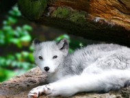 Baby Wolf / Dogs