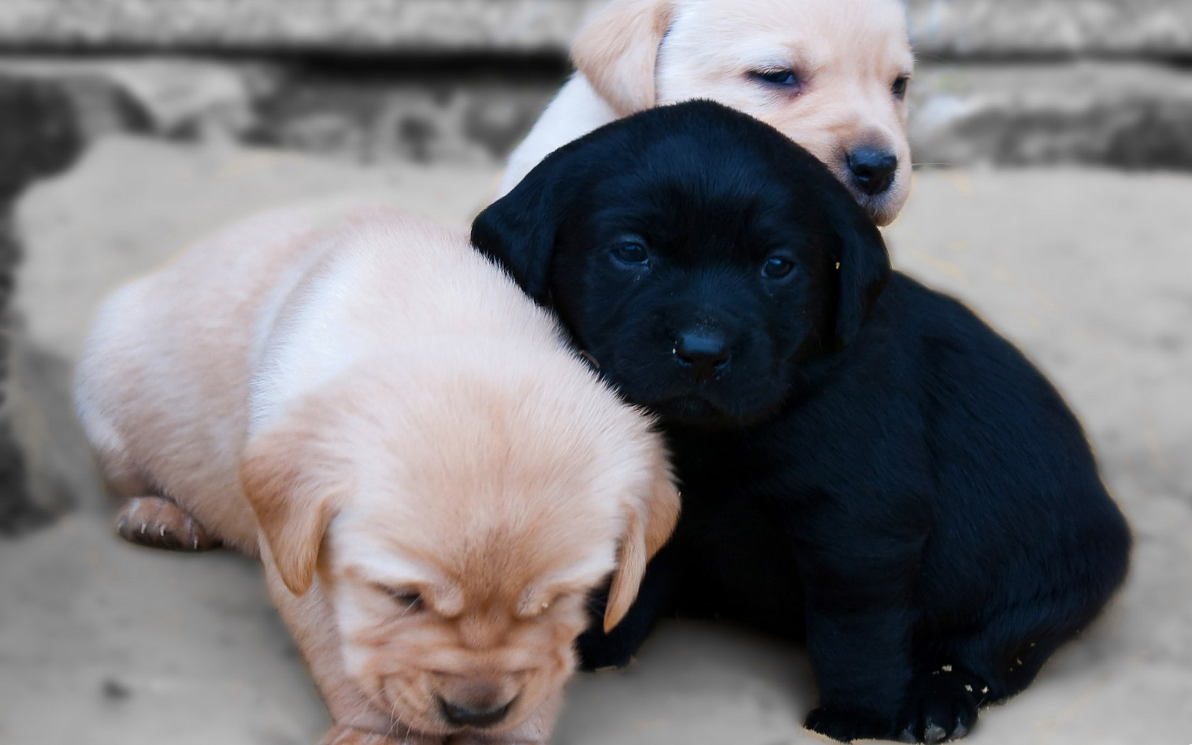 Download full size Puppy trio Dogs wallpaper / 1680x1050